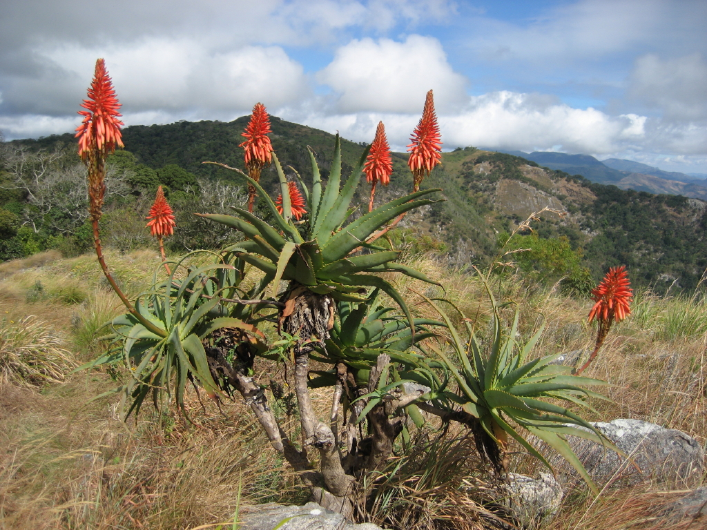 Aloe arborescens on Monte Vumba escape route flora